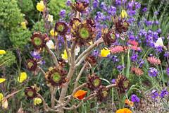 Aeonium (Dan Seeney) Tags: flower succulent aeonium