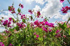 sweet pea flowers (hedphoto) Tags: flowers lincolnshire sweetpeas eastonwalledgarden