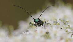 Thick legged flower beetle II (GillK2012) Tags: uk flower nature wildlife beetle thick legged nobilis oedemera