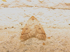 Theria rupicapraria (Skrylten) Tags: theria rupicapraria