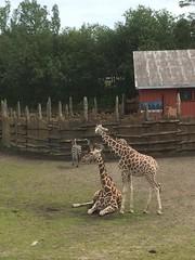 Sjiraffene - - Giraffes (erlingsi) Tags: norway giraffe ferie kristiansand dyreparken sjiraff