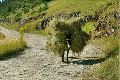 Winter supplies (Gergana-Popova) Tags: country donkey bulgaria hay kesten