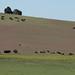 Manada de bisões
