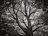 Tree IR B&W (MStoeckle) Tags: blackandwhite bw pen ir olympus panasonic rhodeisland infrared 14mm epl2
