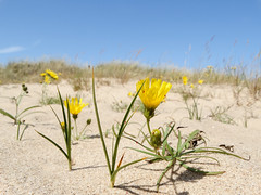 Yellow flowers (Jevgenijs Slihto) Tags: flower fleur yellow jaune sand areia flor sable arena amarillo amarelo gelb giallo bunga  blume fiore kum hoa pasir kuning sabbia  iek sar  kwiat    ty   piasek dzeltens  zolty    vng  ct pue   smiltis