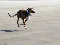 motion beach speed running devon lurcher gait