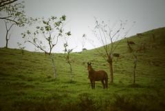 La historia de un caballo (trance_antonio) Tags: life horse plants naturaleza plant nature animal animals mxico mammal caballo plantas vida animales melancholy veracruz melancola zoology lostuxtlas mamfero zoologa