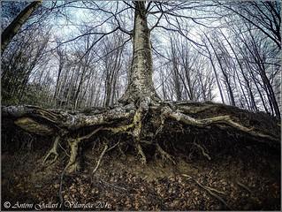 El cor d'un arbre. (Santa Fé - Montseny - Catalunya).