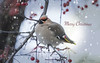 Winter Wanderer _ In Explore 12.25.16 (maryanne.pfitz) Tags: bohemianwaxwing bombycillagarrulus songbird bird wildlife waxwing migrant winter feeding crabapples tree branches streetlght mapbw5466 maryannepfitzinger tomahawk wisconsin lincolncounty