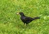 Common blackbird (bojc08) Tags: bird birds ptice kos 200mmf28 sony blackbird birdwatcher tup sonydslra580 turdusmerula