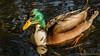 Duck (sebastian_knorr) Tags: ducks erpel enten familie family sommer sonnenuntergang sunset braunschweig südsee wasser spiegelungen natur tiere animals