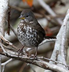 _Q8A6716PointRobertsFoxSparrowSmall (birdbug3) Tags: passerella iliaca
