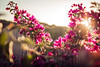 Beautiful Day (thethomsn) Tags: beautiful day floral flowers plants fence fencefriday summer light growth abundant sardinia holiday 30mm dof focus thethomsn bamboo