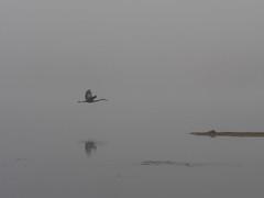 En silence / Silently (Mad Blike) Tags: panasonic panasonicgx8 panasoniclumix olympusm75mmf18 septembre september fleuve river rivesud southbank héron heron brume fog silence moiteur moist