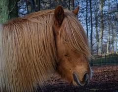 Icelandic horse at Kulla Gunnarstorp castle (frankmh) Tags: animal horse icelandichorse kullagunnarstorp helsingborg skåne sweden outdoor january