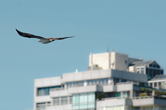 Osprey over Seattle Waterfront (michaelallanfoley) Tags: nikon d7000 300 300mm f4 f4e pf phase fresnel vr