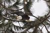 Eagle Watching (NikonDigifan) Tags: eagle birdwatching winter lakecoeurdaleneidaho wolflodgebay niksoftware viveza nikond750 tamron150600g2 tamronlenses tamron mikegassphotography