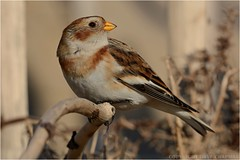 "Snow bunting ( Plectrophenax nivalis ) (DaveChapman ""If it flies,I shoot it"") Tags: plectrophenaxnivalis bird snow bunting snowbunting winter beach shore"