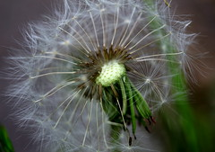 Half Clock Dandelion (FotoFazza) Tags: dandelion bokeh wishes extension tubes canon 650d budget cheap zoom focus white green
