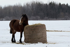 A beautiful mare named Rosie at the McWatt Family Farms in Ramsayville (Ottawa), Ontario (Ullysses) Tags: mcwattfamilyfarms mare horse cheval ramsayville ottawa ontario canada winter hiver ferme farm rosie