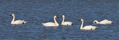 Tundra Swan (tombenson76) Tags: tundraswan cygnuscolumbianus williams