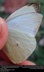 Green-eyed White or Mariposa blanca de ojos verde (Pieridae, Leptophobia aripa (Boisduval)) (insectsunlocked) Tags: lepidoptera papilionoidea pieridae pierinae pierini leptophobia leptophobiaaripa laripa greeneyedwhite mariposablancadeojosverdes