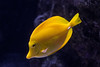 Yellow Tang (Charlie Lee.) Tags: longbeach california southerncalifornia socal 미국 미국서부 westcoast aquarium 수족관 longbeachaquarium fish 물고기 롱비치 열대어 aquariumofthepacific yellowtang