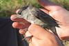 Zwartkop (m.) (Marc Nollet) Tags: vogelfotografie vogel vogels ringen ringwerk antoine bird birds birdwatcher birding birdringing nollet eendekooi lissewege
