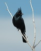 Silky (baro-nite) Tags: wildlife avifauna birds phainopepla ptilogonatidae joshuatree pentax k10d smcpentaxda128200mm iridientdeveloper