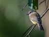 Lemon-bellied Flycatcher (Microeca flavigaster) (Arturo Nahum) Tags: darwin northernterritory australia wildlife aves animal birdwatcher bird pajaros canoneos7dmkii