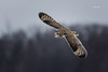 Short-eared Owl (Mike Veltri) Tags: owls owl shorteared avian flight birds nature wild outdoors winter ontario canada