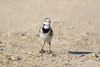 Lavandera (sergio estevez) Tags: aves pajaros lavandera blanca luz lajanda nikonafs300mmf4 sergioestevez