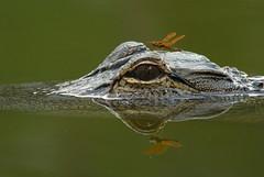 Alligator and dragonfly (baro-nite) Tags: wildlife americanalligator dragonfly pentax k10d smcpentaxa156400mm pentaxrearconvertera14xl iridientdeveloper