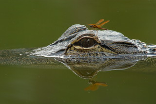 Alligator and dragonfly