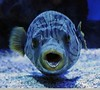 Open mouthed fish (Vee living life to the full) Tags: france french italy italian riviera leger travel touring holiday nikond300 tropical fish aquarium oceanography underwater face porcupine tang blow mouth open eyes turtle swimming sea ocean