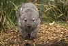 Baby Wombat (D-Niev) Tags: australia tasmania