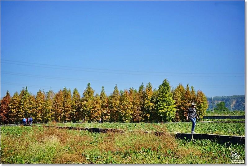 32114729361 75d7edb2bc c - 『台中。后里』 泰安落羽松林秘境-泰安國小旁/泰安櫻花派出所/冬日限定的那一季松紅。
