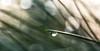 Get The Point (LoomahPix) Tags: botanic botanical botany kew kewgardens nature needles backlit bokeh droplet flora green natural pine tree water winter
