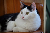 Oréo (pascal_roussy) Tags: chat cat animaux animals nikon d3100