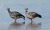 IMG_0794 Southern Screamer (suebmtl) Tags: southernscreamer esterosdelibera corrientesprovince chaunatorquata waterfowl waterbird coloniacarlospellegrini