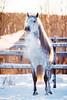 "Puntiagudo CEN, ""Pippin"" (KajsaDahl) Tags: horse horses equine equinephotography equinephotographer winter white sweden swedish snow beautiful animal action light nikon nikond700 lights landscape mm nature pre purarazaespanola andalusian grey puraraza"