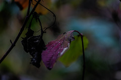 (C-47) Tags: leaves colors helios 442 canon eos 7d mk mark ii m42 bokeh green plant nature dof composition nice night