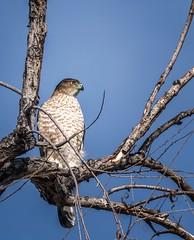 Hungry Eyes (Portraying Life, LLC) Tags: unitedstates hawk bird arizona tucson handheld nativelighting wild sweetwaterwetlands
