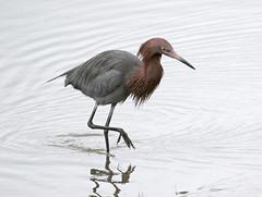 Reddish Egret, Egretta rufescens (bruce_aird) Tags: