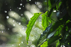 Leaf's bubble bath_c (gnarlydog) Tags: rain leaf green australia soapbubbles bokeh vintagelens vintagelenseffect adaptedlens refittedlens projectionlens willwetzlarmaginon85mmf28 nature outdoors backlit speckledhighlights sunshower