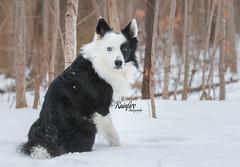 My little Snow Angel (Rainfire Photography) Tags: rainfirephotography bandit bordercollie heterochromia nikon dog woods forest portrait