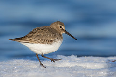 If you are happy and you know it ... (Chantal Jacques Photography) Tags: dunlin snow bokeh depthoffield wildandfree ifyouarehappyandyouknowit esquimaltlagoon shorebirdonthesnow
