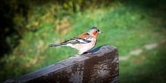 Happy Free Friend (saromon1989) Tags: bird birds nature nikon d3300 animal animals green vignette
