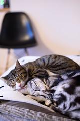 DSC_4261 (catfish.boogie) Tags: nikond750 nikkor50mmf18g japan hokkaido sapporo cats
