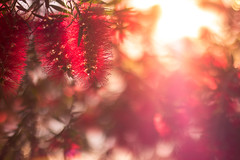Backlight (thethomsn) Tags: light sunset red italy plants holiday blur floral backlight focus europe sardinia dof bright bokeh outdoor blossoms warmth flare dreamy tones thethomsn
